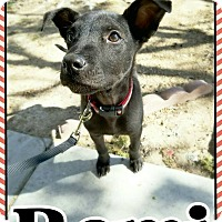 Labrador Retriever/Terrier (Unknown Type, Medium) Mix Puppy for adoption in Edwards AFB, California - Remi