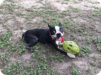 Boston Terrier Dog for adoption in Van Vleck, Texas - Markie