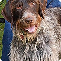 Adopt A Pet :: Gus - Incline Village, NV