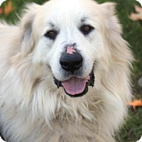 Great Pyrenees Mix Dog for adoption in Harrison, New York - Bear