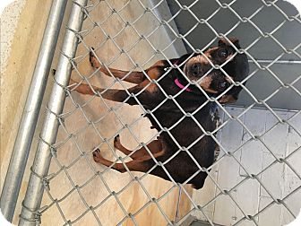 Miniature Pinscher Mix Dog for adoption in Walker, Louisiana - Tula