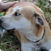 Labrador Retriever Mix Dog for adoption in tampa, Florida - Eden