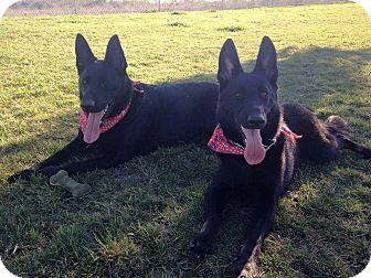 German Shepherd Dog Dog for adoption in Santa Barbara, California - Regan