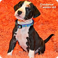 Adopt A Pet :: Candance - Yreka, CA