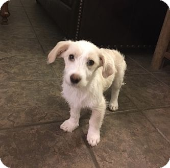 Mellie | Adopted Puppy | Columbia, TN | Wirehaired Fox ...