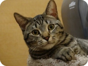 Domestic Shorthair Cat for adoption in Diamond Bar, California - EMMETT