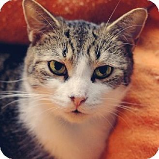 Domestic Shorthair Cat for adoption in Markham, Ontario - Cindy C