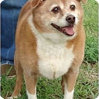 Adopt A Pet :: Corki - Kingwood, TX