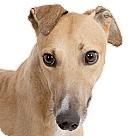 Adopt A Pet :: Maxi