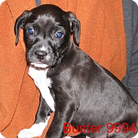 Adopt A Pet :: Buster - baltimore, MD