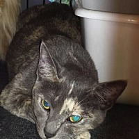 Domestic Shorthair Cat for adoption in Chino, California - Natasha