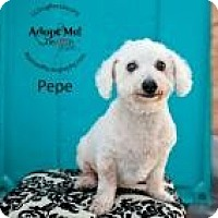 Adopt A Pet :: Pepe - Shawnee Mission, KS