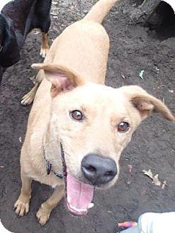 Labrador Retriever Mix Dog for adoption in Ravenel, South Carolina - Humphrey