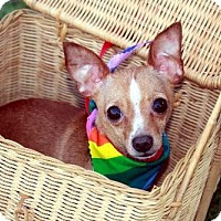 Adopt A Pet :: Peppy Chi - Dallas, TX