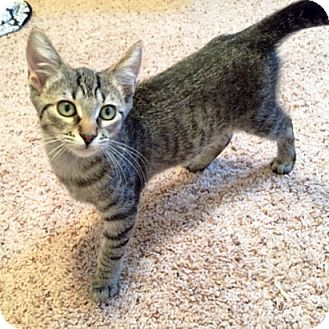 Domestic Shorthair Kitten for adoption in Arlington/Ft Worth, Texas - Ophelia