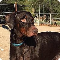 Adopt A Pet :: Boone - Phoenix, AZ