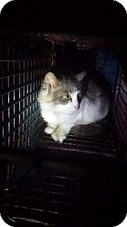 Maine Coon Cat for adoption in Stafford, Virginia - Wendylyn