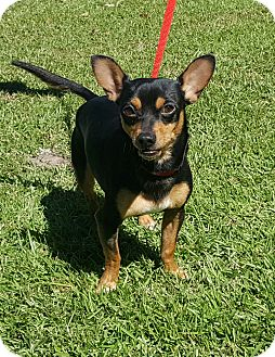 Miniature Pinscher/Chihuahua Mix Dog for adoption in Mount Pleasant, South Carolina - Alberto