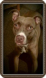 American Pit Bull Terrier Dog for adoption in Akron, Ohio - Mocha