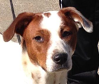 Hound (Unknown Type)/Labrador Retriever Mix Dog for adoption in Hagerstown, Maryland - Khole