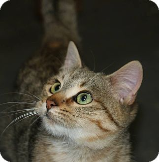 Domestic Shorthair Cat for adoption in Idaho Falls, Idaho - Birdie