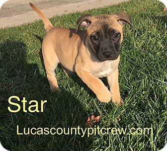 Labrador Retriever/American Pit Bull Terrier Mix Puppy for adoption in Toledo, Ohio - Star