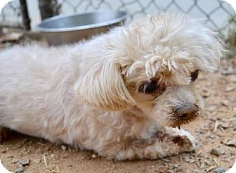 Miniature Poodle Dog for adoption in Chester Springs, Pennsylvania - Snow