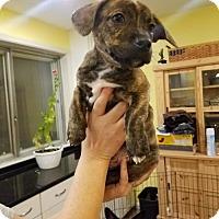 Adopt A Pet :: Joker - Brookeville, MD