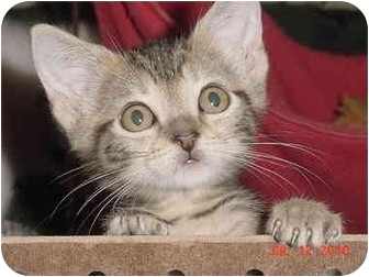 American Shorthair Kitten for adoption in Inverness, Florida - Sparrow