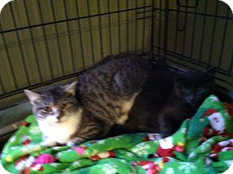 Domestic Shorthair Kitten for adoption in Chesterfield, Virginia - Feral kittens