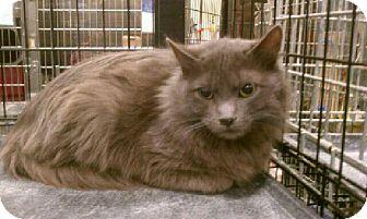 Turkish Angora Kitten for adoption in Pittstown, New Jersey - Zane