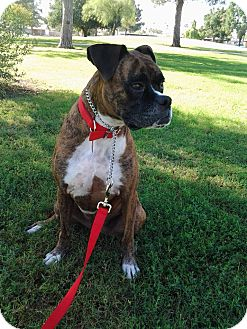 "Boxer Dog for adoption in Phoenix, Arizona - Cappucino ""Cappy"""