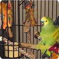 Adopt A Pet :: Angel - St. Louis, MO