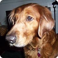 Adopt A Pet :: Sugar - Cheshire, CT