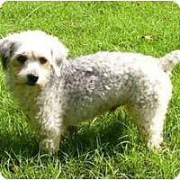 Adopt A Pet :: Opie - Mocksville, NC