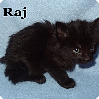 Adopt A Pet :: Raj - Bentonville, AR