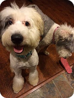 Old English Sheepdog Dog for adoption in Temple City, California - Gong-wan