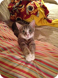 Domestic Mediumhair Cat for adoption in Spotsylvania, Virginia - Willow