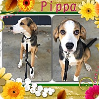 Adopt A Pet :: Pippa in CT - Manchester, CT