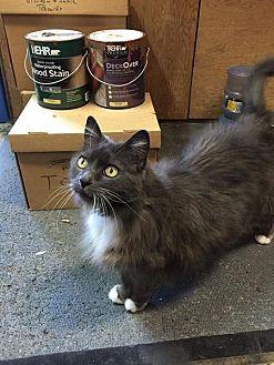 Domestic Longhair Cat for adoption in San Jose, California - Sabine