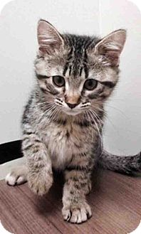 Domestic Shorthair Kitten for adoption in Hinsdale, Illinois - Shelby