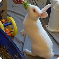 Adopt A Pet :: Snowball - Maple Ridge, BC