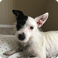 Adopt A Pet :: Spot - Las Vegas, NV