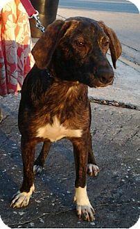 Plott Hound Dog for adoption in Palm Harbor, Florida - Angus
