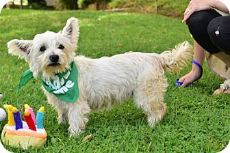 Westie, West Highland White Terrier/Poodle (Miniature) Mix Dog for adoption in Marina Del Ray, California - IRIS
