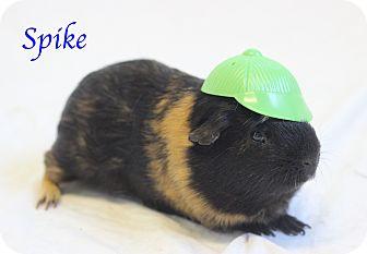 Guinea Pig for adoption in Bradenton, Florida - Spike