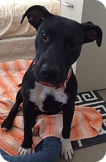 Labrador Retriever Mix Puppy for adoption in Forked River, New Jersey - Eleanor