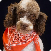 Toy Poodle Dog for adoption in Phelan, California - Logan
