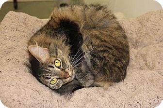 Domestic Longhair Cat for adoption in Greensboro, North Carolina - Kim Possilbe