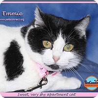 Domestic Shorthair Cat for adoption in South Bend, Indiana - Emmie